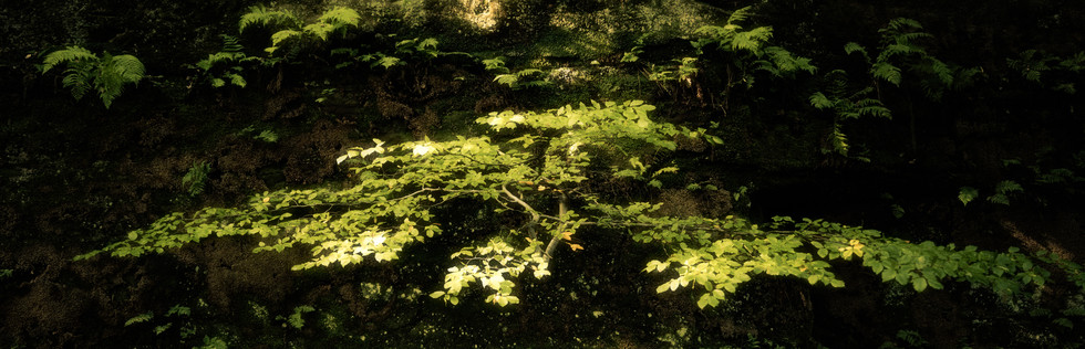 Beech and Ferns, Eden Valley