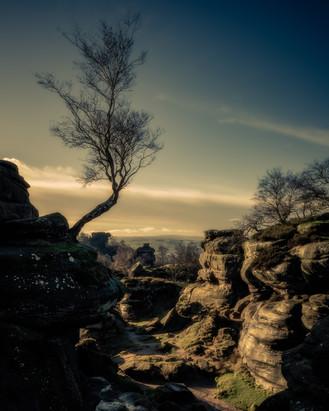 Birch at Brimham Rocks