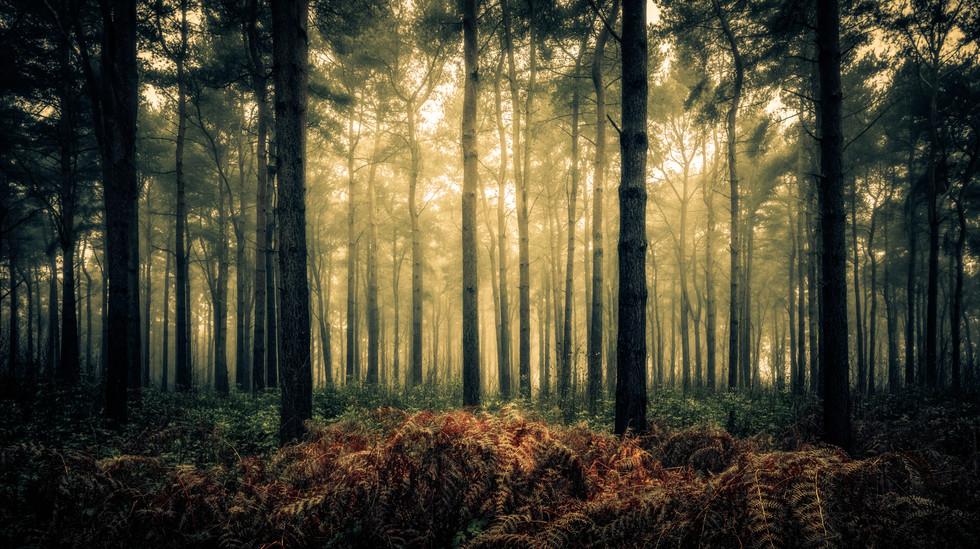 Pines and Ferns, Wheldrake Wood