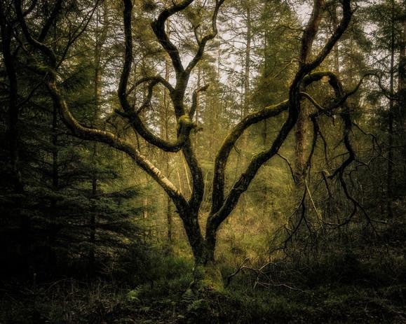 Twisted Birch, Timble Ings Wood