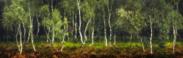 Birch Woodland, Strensall Common