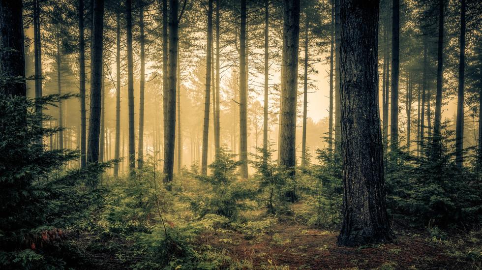 Misty Woodland, Wheldrake Wood