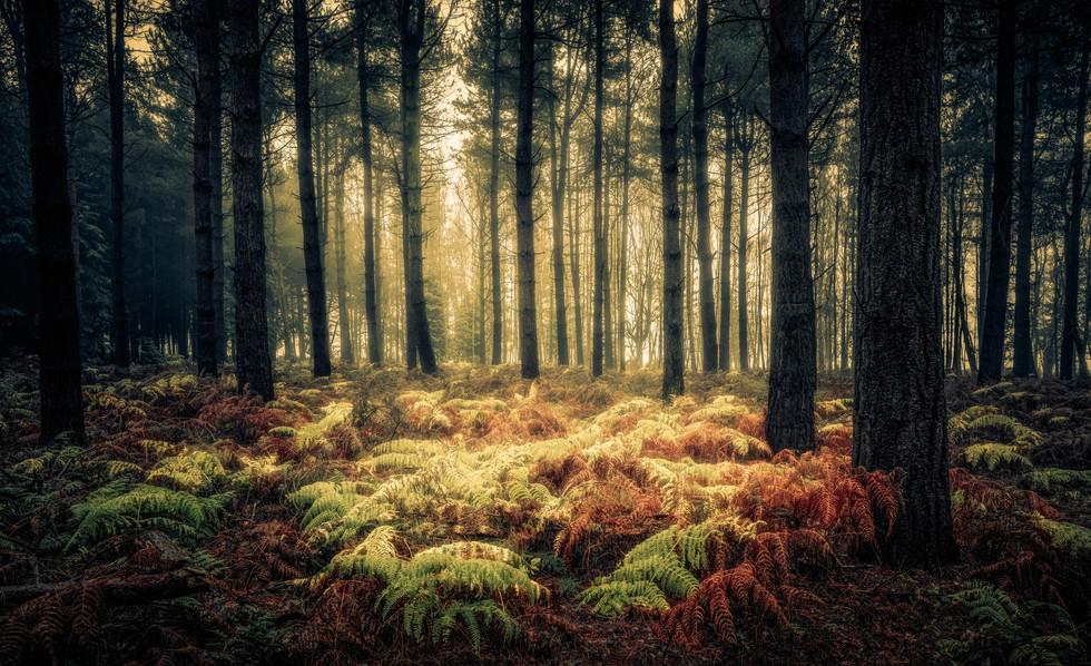 Ferns and Pines, Wheldrake Wood
