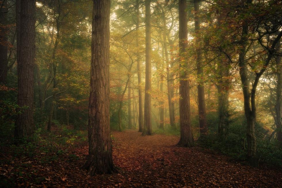 Autumn Mist, Harrogate Pinewoods