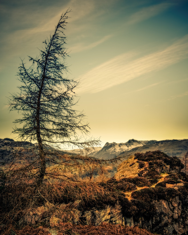 Larch on Holme Fell
