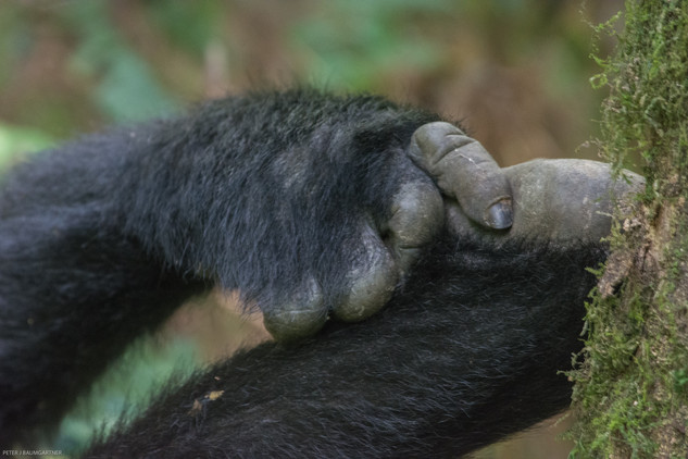 Gorilla Hand and Foot