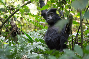 Baby Gorilla 7