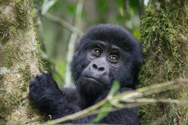 Baby Gorilla 1