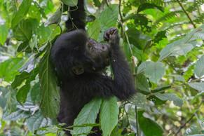 Baby Gorilla 5