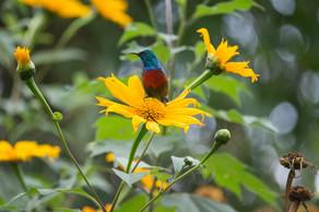 Regal Sunbird