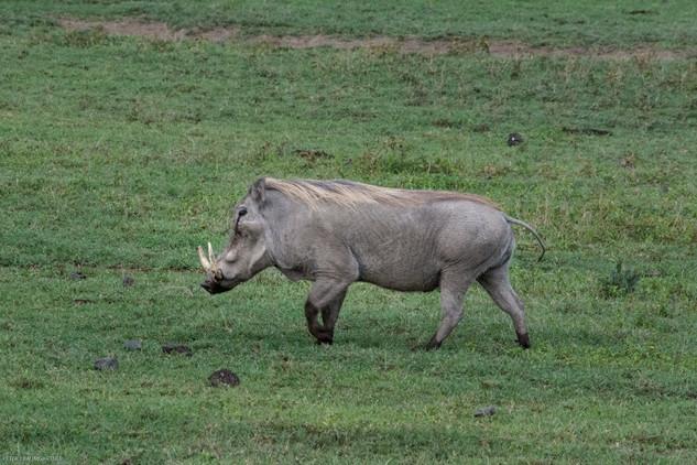 Light Gray Wart Hog