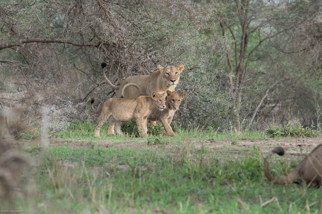 Lions and Cubs