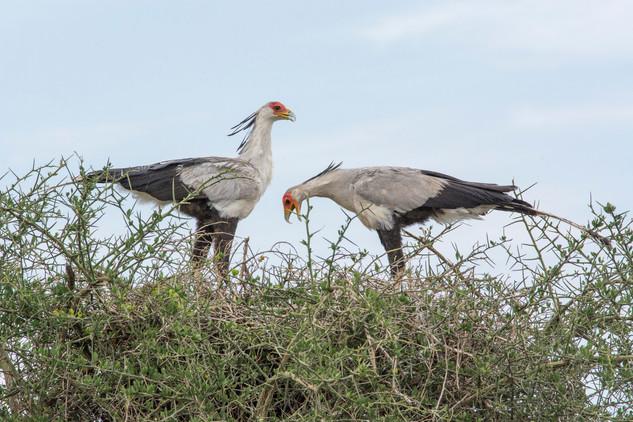 Secretary Birds On Nest