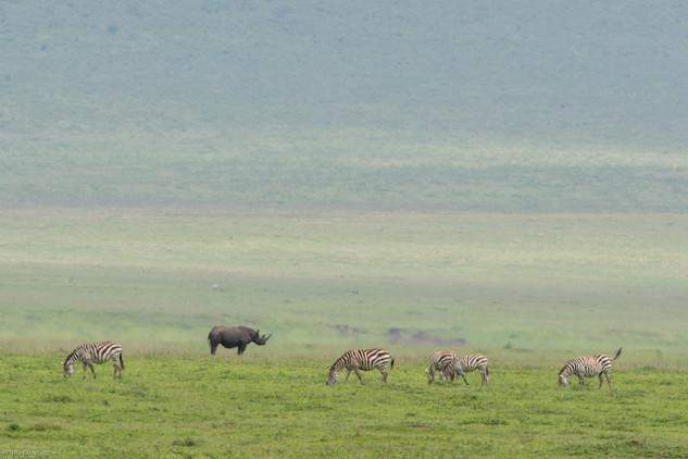 Rhino And Zebras