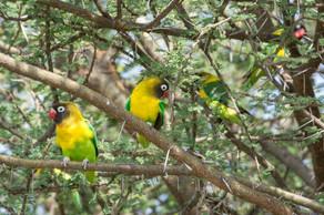 Yellow-collared Lovebirds