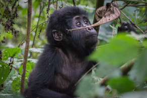 Baby Gorilla 3