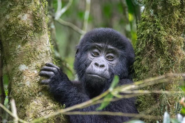 Baby Gorilla 6