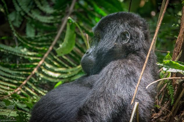 Gorilla Sitting