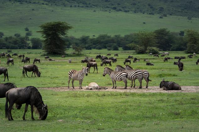 Zebras Stick Togetgher