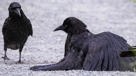 crow and ant 001_resize.jpg