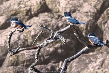Kingfishersre.jpg