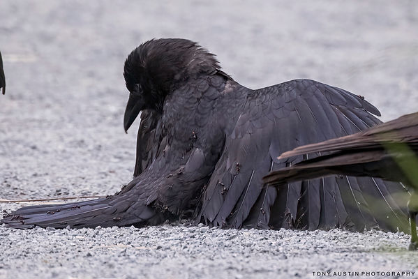crow and anting006_resize.jpg