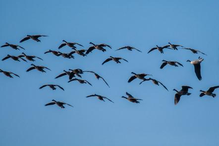 Funny Geese.jpg