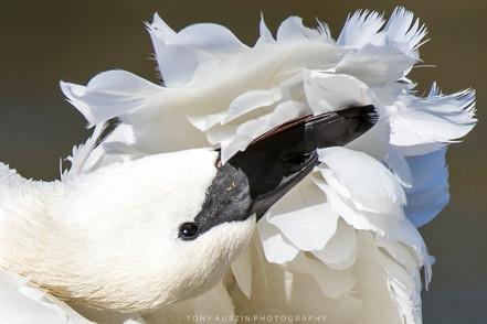 swan001b.jpg