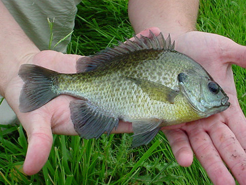 Blue Gill Package