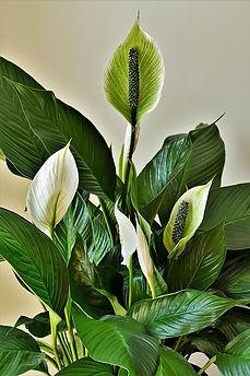 peace-lilies-4269365_1920.jpg