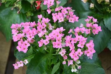 flowers-pink-kalanchoe-2684888_1920.jpg