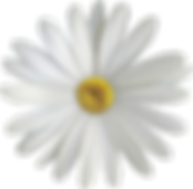 marguerite-4740538_1280.png