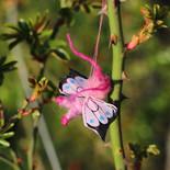 Schmetterling (klein)