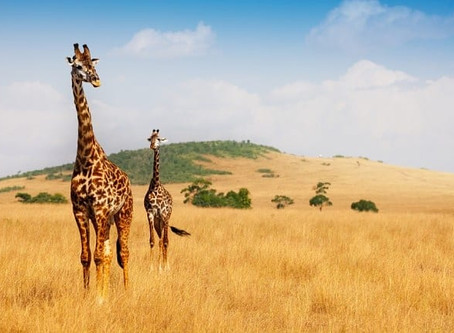 Safari in Africa: Guida ai parchi più belli.