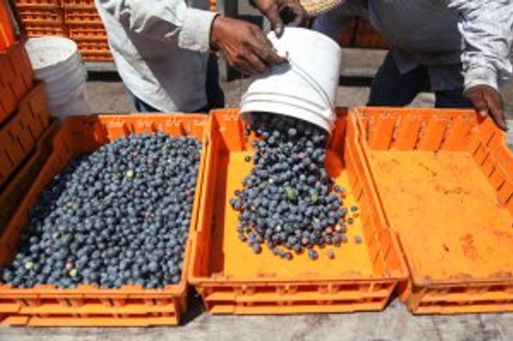 Blueberry harvest in North Carolina. Photo credit: Morgan McCloy, NPR