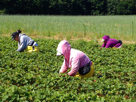 Beyond Beyoncé: Farmworkers Fear the Worst While the Music Plays on