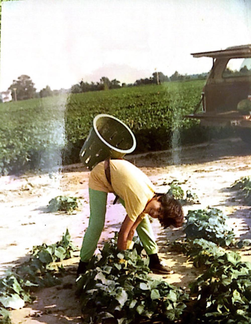 Idalia harvesting cucumbers in Ohio