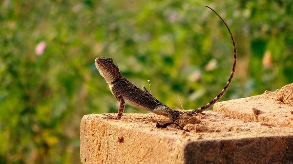 lizard.jpeg
