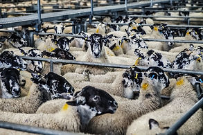 sheep-lambs-market-farm-37657.jpeg