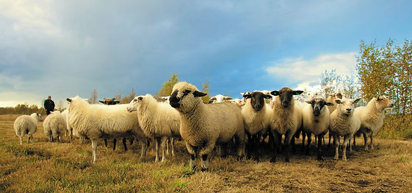 sheep.jpeg