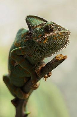 chameleon.jpeg
