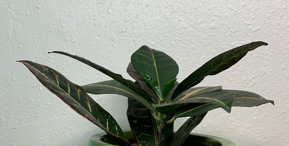 4' Croton