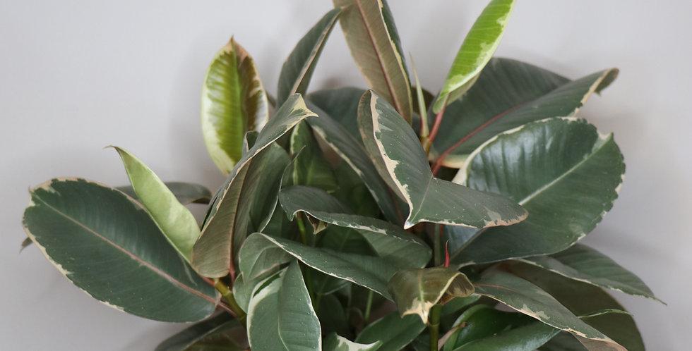 Tineke Rubber Tree
