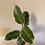 Thumbnail: 4' Tineke Rubber Tree