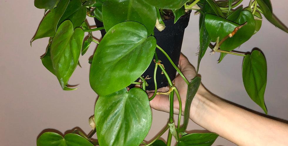 "6"" Heartleaf Philodendron"
