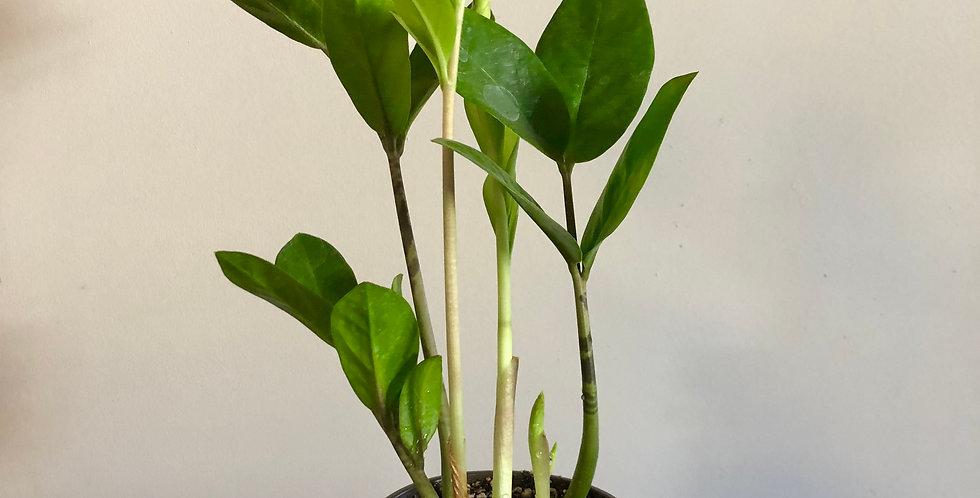 """4"""" Zz Plant"""