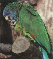 National Bird - Amazona Versicolor