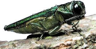 What is Ash Borer?