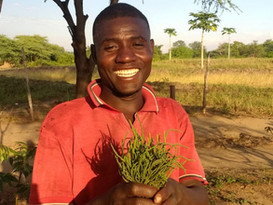 Samphire First Harvest in Malawi