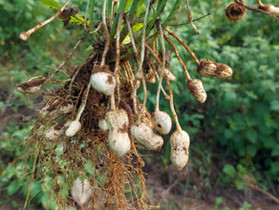Growing Peanuts with Seawater?